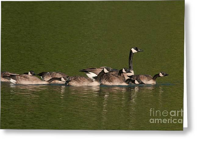 Mother Goose Greeting Cards - Canada Goose And Chicks Greeting Card by Ron Sanford