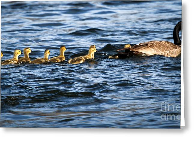 Zoology Greeting Cards - Canada Goose and Goslings Greeting Card by Robert Bales