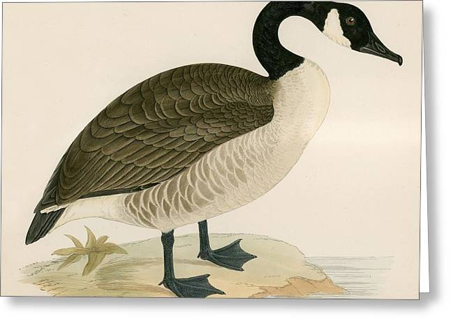 Hunting Bird Photographs Greeting Cards - Canada Goose Greeting Card by Beverley R. Morris