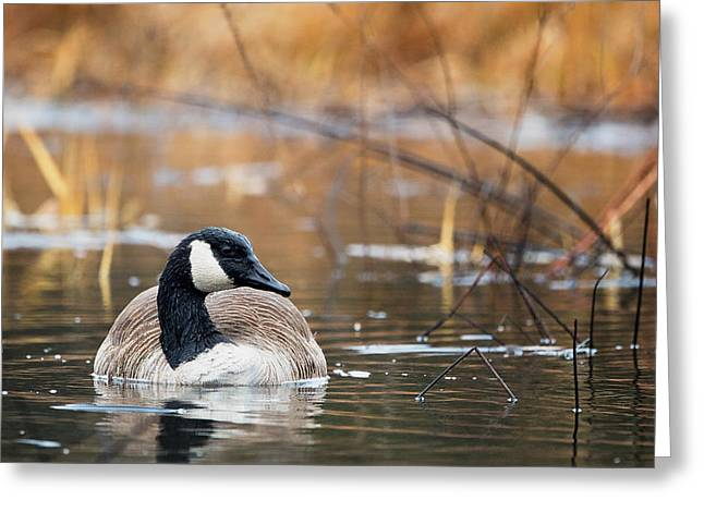 Canada Goose Greeting Cards - Canada Goose Greeting Card by Bill  Wakeley