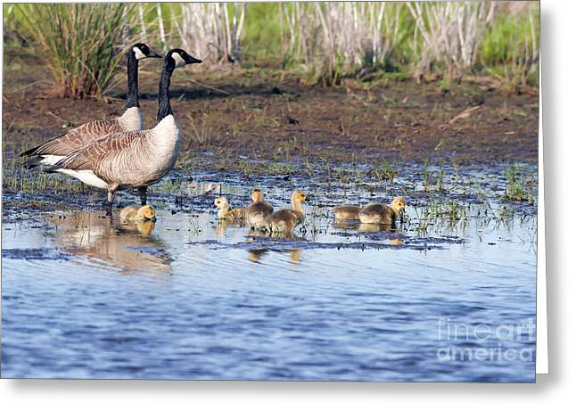 Mother Goose Greeting Cards - Canada Goose Family Greeting Card by Martha Marks