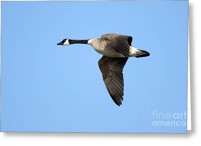 Flying Wild Bird Greeting Cards - Canada Goose in Flight Greeting Card by Sharon  Talson