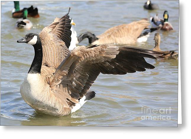 Pond In Park Greeting Cards - Canada Goose in Pond Greeting Card by Carol Groenen