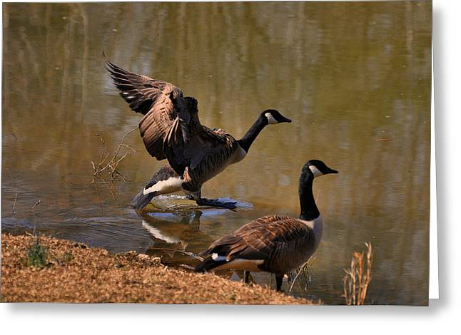 Canada Goose Landing On Pond - C2646h  Greeting Card by Paul Lyndon Phillips