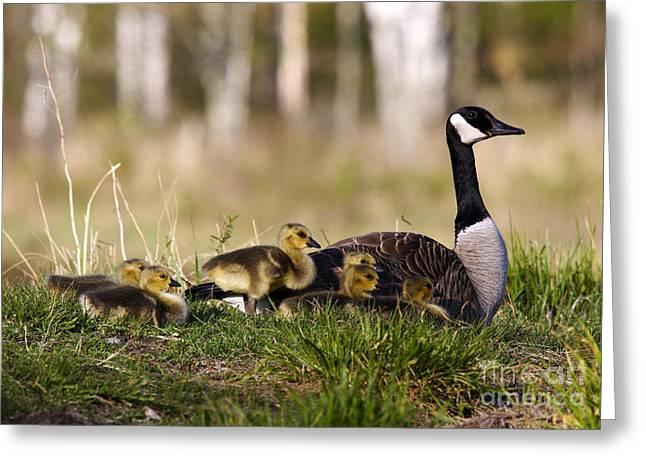 Branta Greeting Cards - Canada Goose Greeting Card by Linda Freshwaters Arndt