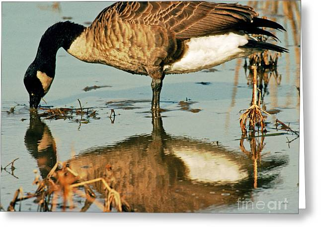 Geese Photographs Greeting Cards - Canada Goose Greeting Card by Millard H. Sharp