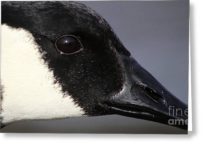 Popular Goose Images Greeting Cards - Canada Goose Portrait Greeting Card by Sue Harper