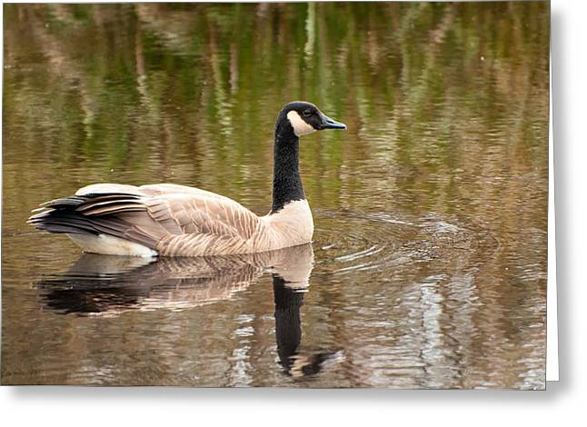 Branta Greeting Cards - Canada Goose Greeting Card by Rich Leighton