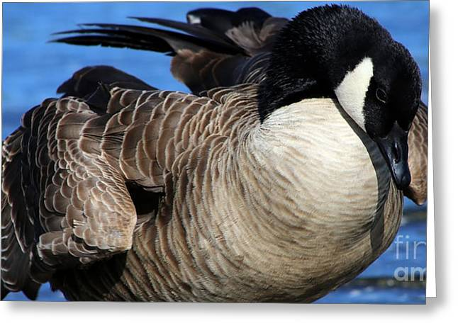 Popular Goose Images Greeting Cards - Canada Goose Shuffle Greeting Card by Sue Harper