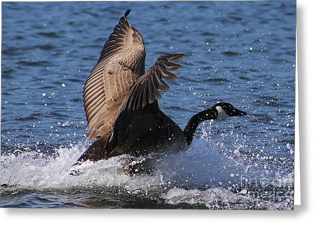 Popular Goose Images Greeting Cards - Canada Goose Splash Greeting Card by Sue Harper