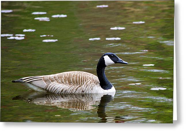 Water Fowl Greeting Cards - Canada Goose Square Greeting Card by Christina Rollo