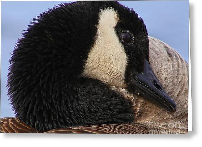 Popular Goose Images Greeting Cards - Canada Goose Greeting Card by Sue Harper