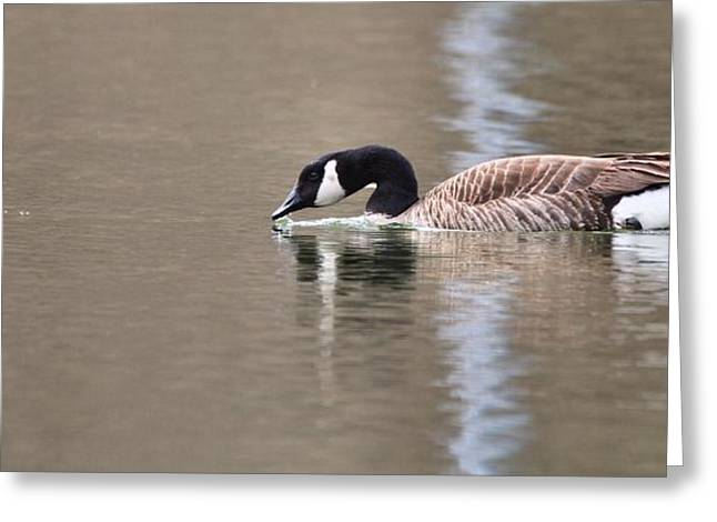 Geese Photographs Greeting Cards - Canada Goose Swimming Greeting Card by Dan Sproul