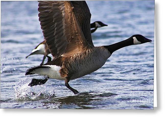 Popular Goose Images Greeting Cards - Canada Goose Taking Flight Greeting Card by Sue Harper
