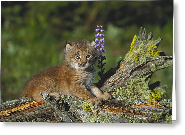 Lynx Sp Greeting Cards - Canada Lynx Cub Montana Greeting Card by Alan & Sandy Carey