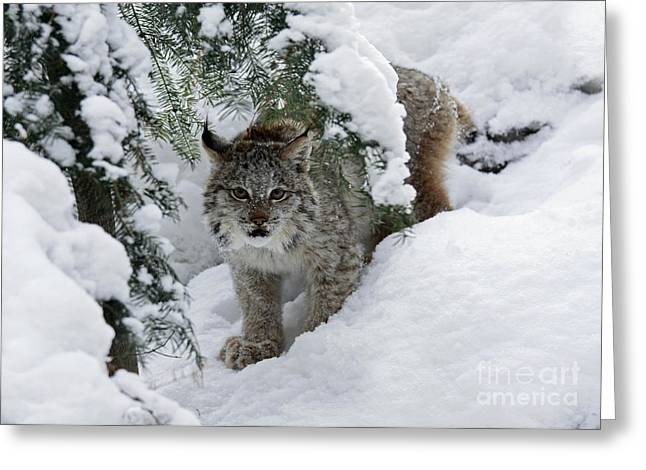 Canada Lynx Hiding In A Winter Pine Forest Greeting Card by Inspired Nature Photography Fine Art Photography