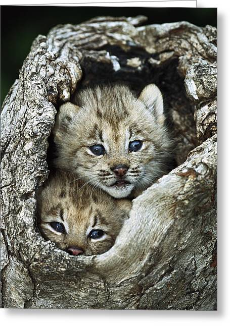 Close-up Of Cat Greeting Cards - Canada Lynx Kitten Pair Greeting Card by Konrad Wothe
