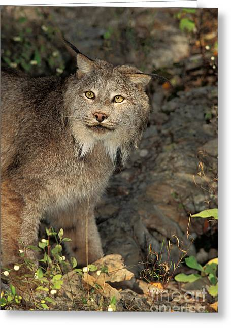 Lynx Sp Greeting Cards - Canada Lynx Lynx Canadensis Greeting Card by Ron Sanford