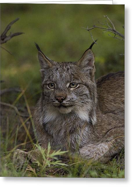 Lynx Sp Greeting Cards - Canada Lynx Portrait Greeting Card by Michael Quinton