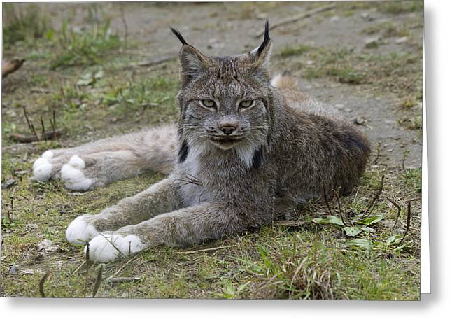 Lynx Sp Greeting Cards - Canada Lynx Reclining Greeting Card by Matthias Breiter
