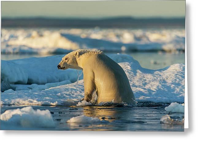 Canada, Nunavut Territory, Polar Bear Greeting Card by Paul Souders