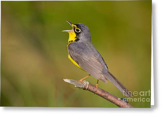 Wood Warbler Greeting Cards - Canada Warbler Greeting Card by Jim Zipp