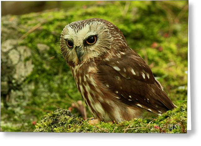 Shelley Myke Greeting Cards - Canadas Smallest Owl - Saw Whet Owl Greeting Card by Inspired Nature Photography By Shelley Myke