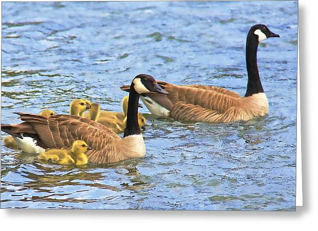 Baby Bird Greeting Cards - Canadian Geese and Goslings Blue waters Greeting Card by Jennie Marie Schell