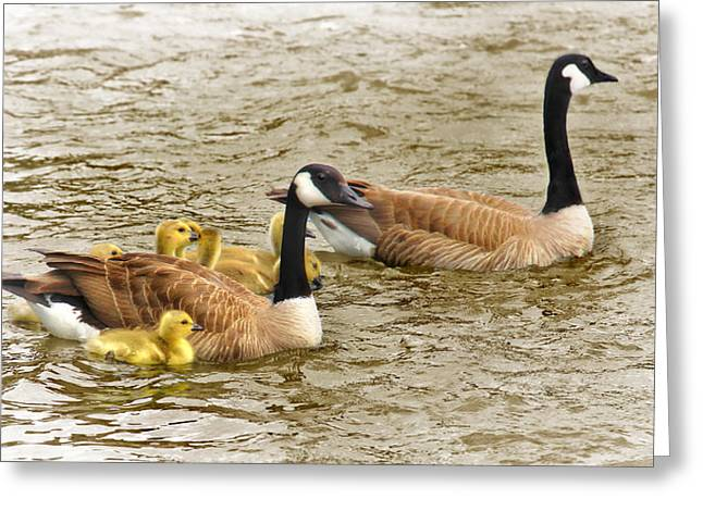 Baby Bird Greeting Cards - Canadian Geese and Goslings Bright Waters Greeting Card by Jennie Marie Schell