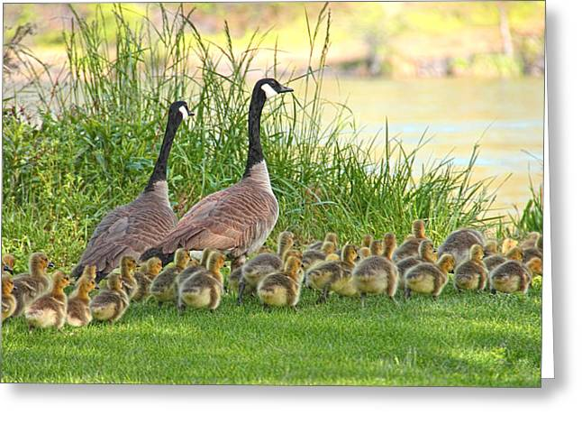 Canadian Geese Greeting Cards - Canadian Geese Family Greeting Card by Jennie Marie Schell