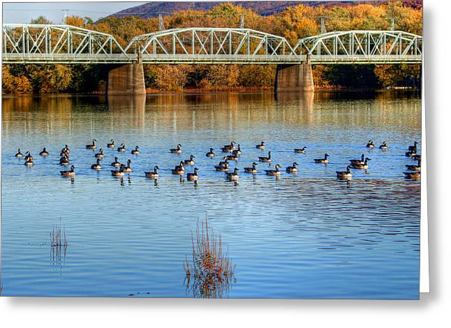 Williamsport Greeting Cards - Canadian Geese Flock To The Old Arch Street Bridge  Greeting Card by Gene Walls
