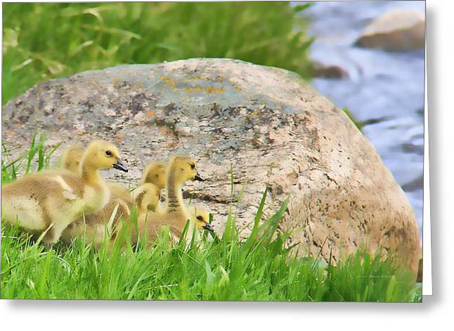 Baby Bird Greeting Cards - Canadian Geese Goslings Greeting Card by Jennie Marie Schell