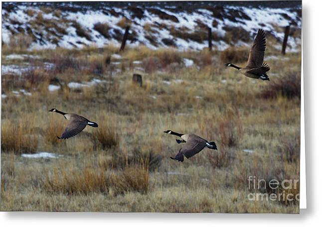 Canadian Geese In Flight Greeting Card by Mike  Dawson
