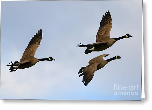Canadian Geese Trio Greeting Card by Mike Dawson