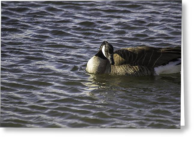Canadian Pyrography Greeting Cards - Canadian Goose Greeting Card by Brent Touchstone