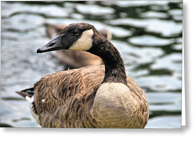 Wild Geese Greeting Cards - Canadian Goose Greeting Card by Dan Sproul