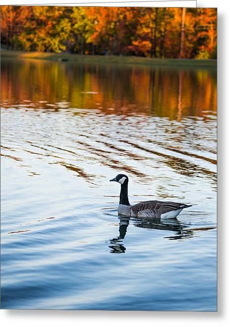 Things Light Greeting Cards - Canadian Goose Floating Across the Lake Greeting Card by Shelby  Young