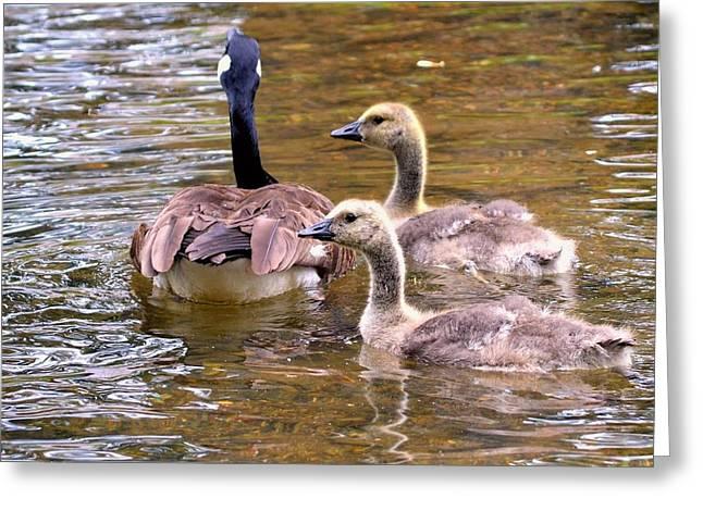 Mother Goose Greeting Cards - Canadian Goose Mama and Babies Greeting Card by Tara Potts