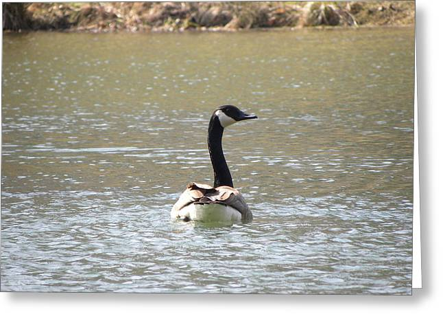 Canadian Goose Swimming Greeting Card by Cim Paddock