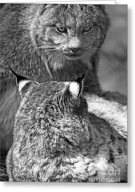 Bobcats Photographs Greeting Cards - Canadian Lynx Greeting Card by Charline Xia