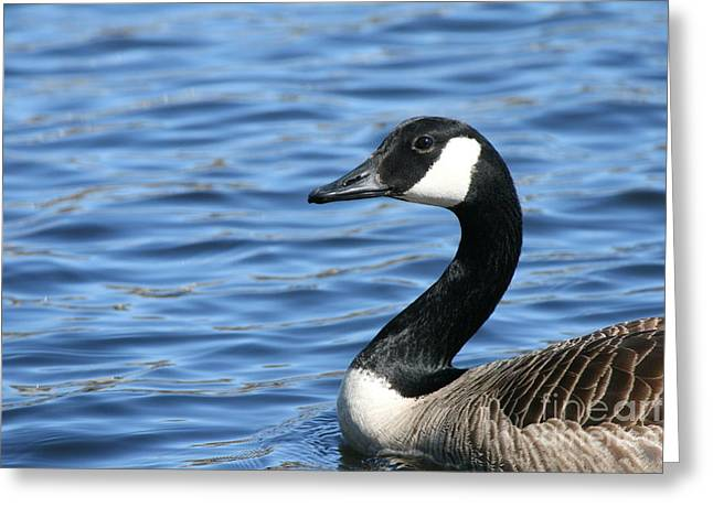 Wildlife Photography Greeting Cards - Canadian Pose Greeting Card by Neal  Eslinger