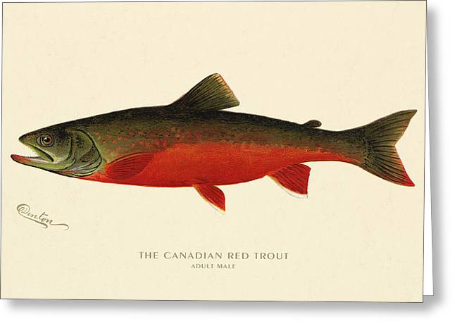 Decorative Fish Greeting Cards - Canadian Red Trout Greeting Card by Gary Grayson