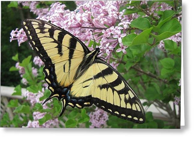 Common Tiger Butterfly Greeting Cards - Canadian Tiger Swallowtail Greeting Card by Maciej Froncisz