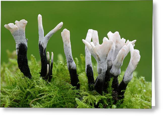 Candlesnuff Fungus Greeting Card by Nigel Downer