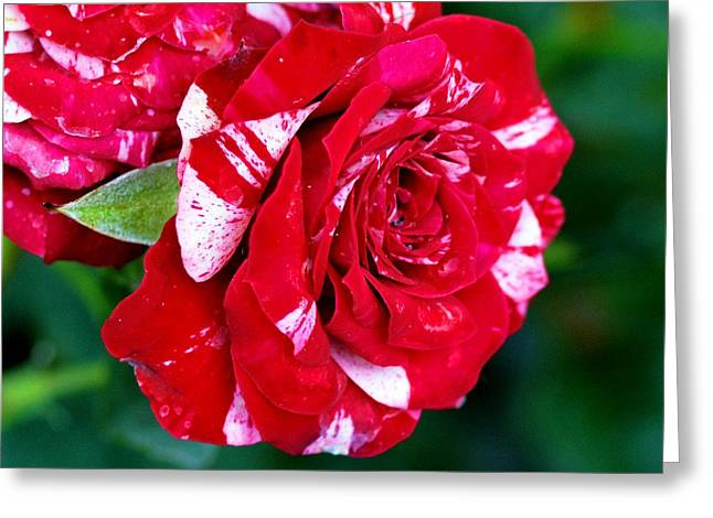 Candy Cane Rose Flower Greeting Card by Johnson Moya