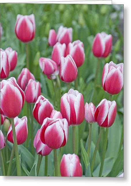 Pink Blossoms Greeting Cards - Candy Stripe Tulips Greeting Card by Juli Scalzi