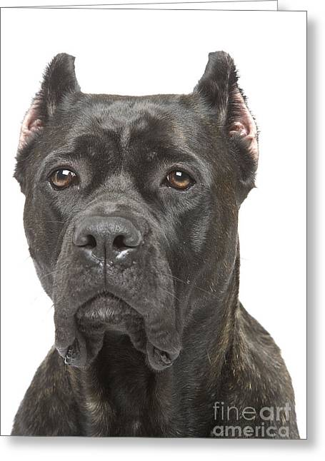 Guard Dog Greeting Cards - Cane Corso Dog Greeting Card by Jean-Michel Labat