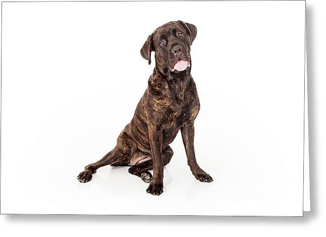 Brindle Greeting Cards - Cane Corso Dog Sitting to Side Greeting Card by Susan  Schmitz