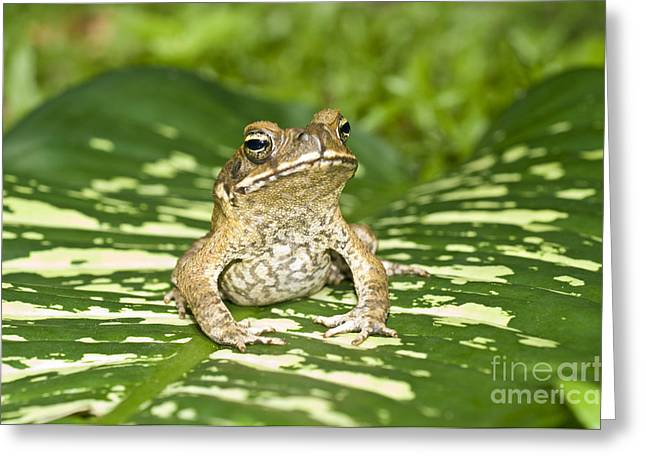 Invasive Species Greeting Cards - Cane Toad Greeting Card by William H. Mullins