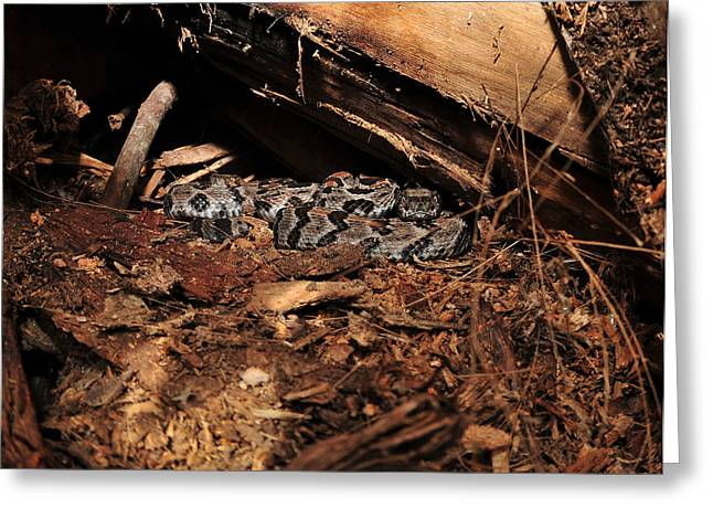 Canebrake Rattle Snakes Greeting Card by Eric Abernethy